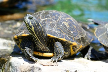 Close up portrait of a turtle by the waters edge