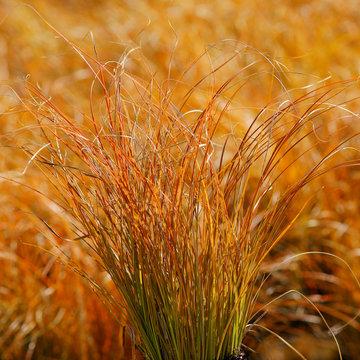 Carex testacea Prairie Fire / ornamental grass