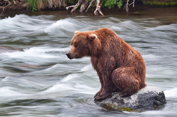 wild brown bear in water