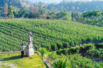Agriculture in Asia. Farm for growing vegetables, a field with tomatoes. Indonesia, Bali.