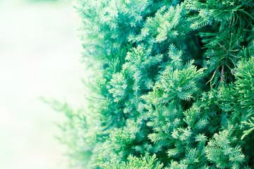 Pine tree, Evergreen juniper background. Christmas and Winter wallpaper