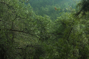 Dense green tree mountain forest background