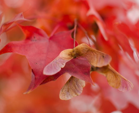 Closeup of maple seed on ab branch with foliage in red palette in residential part of Redmond