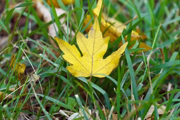 Autumn yellow leaf lies on green grass close up.