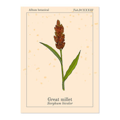 Great millet Sorghum bicolor , cereal crop