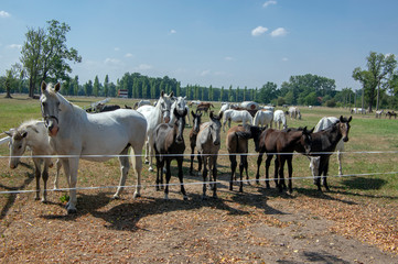 Kladruby nad Labem, Czech horse breed, Starokladruby white domesticated horses and foals on pasture during hot summer sunny day