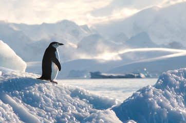 Ingelijste posters Pinguin Chinstrap penguin on Ice in Antarctica