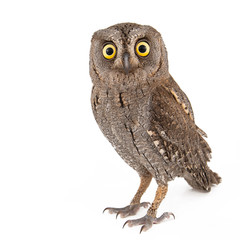 Fotobehang Uil European scops owl (Otus scops) isolated on white background