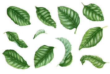 Set with green leaves. Botanical illustration. Floral design elements. Can be used for labels, postcards, textile, walpapper and other objects. Isolated on white.