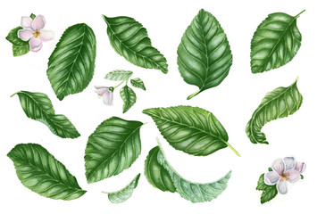 Set with green leaves and flowers. Botanical illustration. Floral design elements. Can be used for labels, postcards, textile, walpapper and other objects. Isolated on white.
