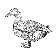 Wild duck illustration on white background. Design element for poster, card, banner, flyer.