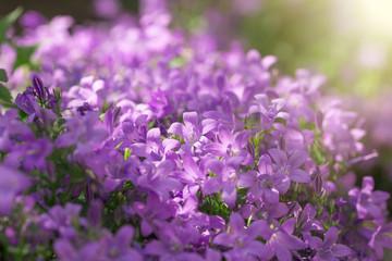 Purple flowers in meadow, beautiful nature - selective focus on flower