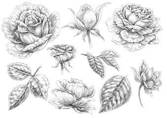 Black and white illustration : Roses