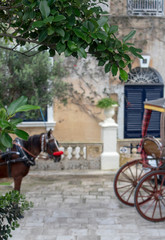 Focused on a foreground shrub, with a dreamy background, horse and carraige. Taken in Malta.