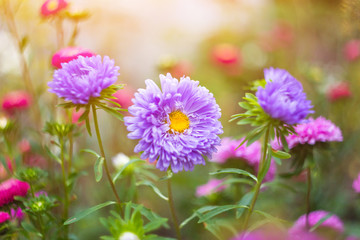 Aster flowers close up, floral background