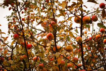 Ripe red apples in a tree