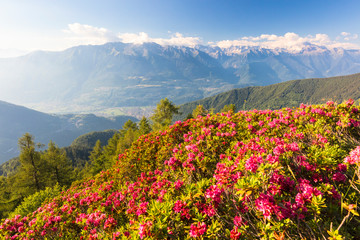 Rhododendrons on Pizzo Berro with Rhaetian Alps and Monte Disgrazia in the background, Bitto Valley, Lombardy, Italy