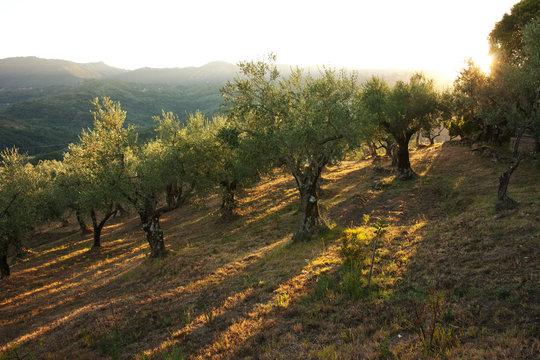 Abendsonne im Olivenhain
