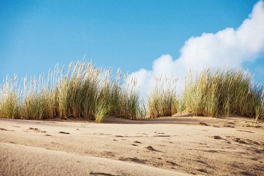 Strandhafer auf Düne auf Sylt