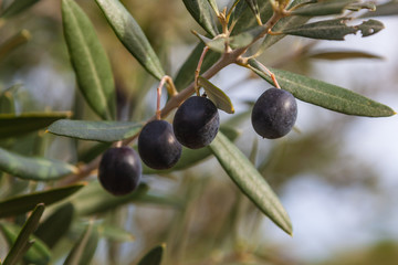 Olive-tree branch with ripe black olives on the natural blurred background with selective focus, Tuscany, Italy