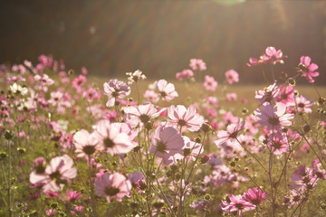 Field of beautiful blooming late summer cosmos flowers.