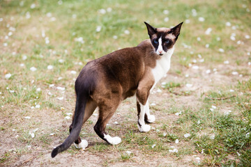 Portrait of Siamese oriental cat outdoors at spring on green grass at sunny day
