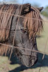 Close up of dark brown pony