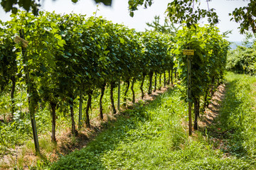 Close up landscape view to vineyards in Germany