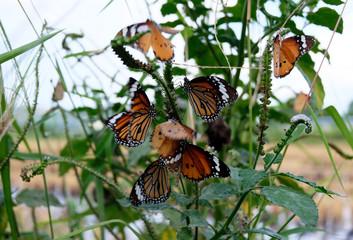 Black veined brown butterfly, Animals, Danaus, Danaus plexippus, Indian Monarch butterfly, milkweed, Monarch, Nature, Nature and Wildlife,