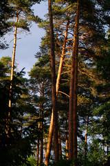 Pinienwald mit Sonnenstahlen in der Abenddämmerung