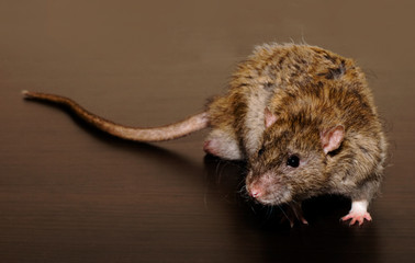 Brown Rat on the dark background close up