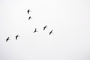 Flock of Canada Geese in V formation during spring migration