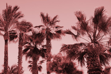 Silhouette of palm trees at sunset. Vintage pink filter