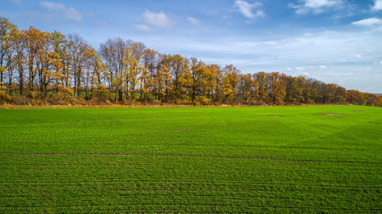 Aerial view of the large wheat field in autumn. Amazing landscape with trees with red and orange leaves in a day in the wheat field.