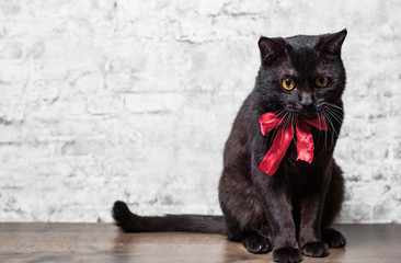 Portrait of a black cat in studio on wooden floor on gray wall background
