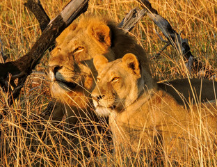 Southern African Lions
