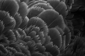 Black swan feather texture is close