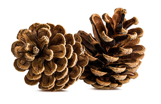 Brown pine cone on white background with clipping pass