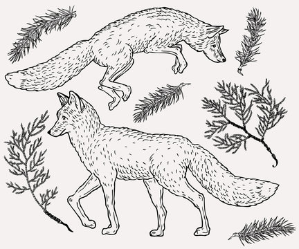 Hand drawn fox illustration with evergreen plant on background in vintage style.