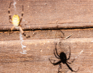 spider's shadow on the wood