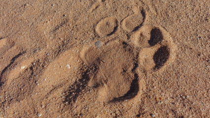 Wild lion footprint on the sand.