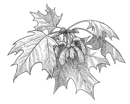 Sugar maple illustration, drawing, engraving, ink, line art, vector