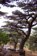 Cedar forest in Lebanon. The mountains of Lebanon are covered with thick cedar forests. Cedar is the symbol of Lebanon.