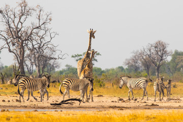 A Dazzle of zzebra and a lone giraffe at a waterhole in Hwange national park zimbabwe -  heat haze and dust is visible