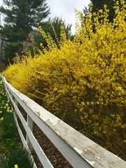 Forsythia in Spring