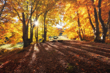 Sun rays through autumn trees. Natural autumn landscape in the forest. Autumn forest and sun as a background. Nature at the autumn time