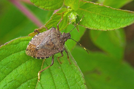 Worldwide pest brown marmorated stink bug Halyomorpha halys (adult)