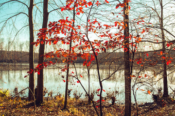 A single sapling of molten red leaves beside the shore of a lake in winter