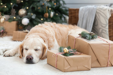 Golden retriever puppy dog nap on white artificial fur coat near Christmas tree with decoration, balls, lights and presents in boxes. Pets friendly  scandinavian style hotel or home room.