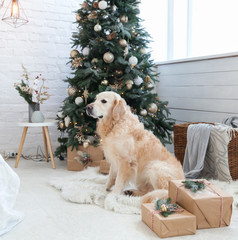 Golden retriever puppy dog on white artificial fur coat near Christmas tree with decoration, balls, lights and presents in boxes. Pets friendly  scandinavian style hotel or home room.